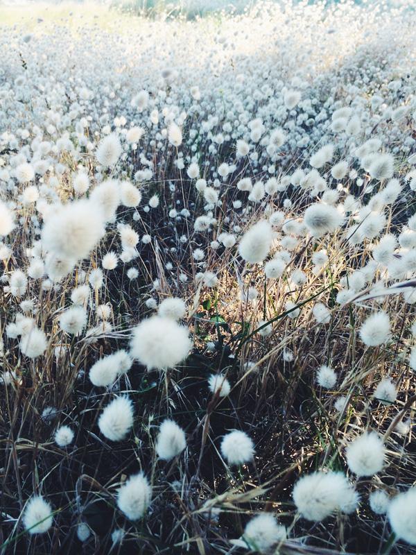 Field of cotton in Breton, France